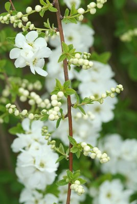 Exochorda_The_Bride_b.jpg