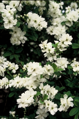 Exochorda__The_Bride_c.jpg