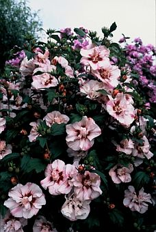 hibiscus syriacus overzicht cultivars. Black Bedroom Furniture Sets. Home Design Ideas