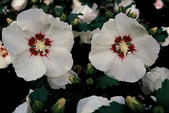 Hibiscus_syriacus_Red_Heart.jpg