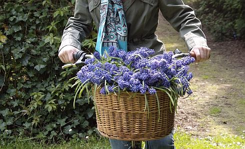 Muscari_Blue_Spike490.jpg