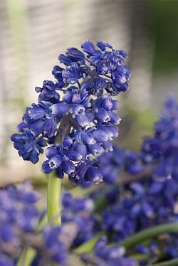 Muscari_Blue_Spike_bloem_b.jpg