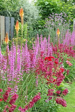 Penstemon-_Lythrum-_Kniphofia.jpg