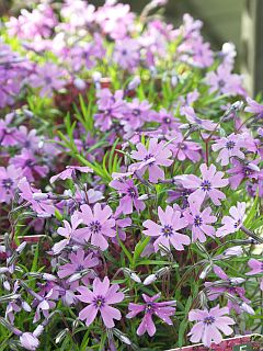 Phlox_subulata_Purple_Beauty.jpg