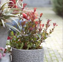 Photinia_fraseri_Little_Red_Robin.jpg