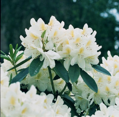Rhododendron mme masson.jpg