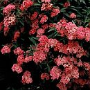 Spiraea_japonica_Anthony_Waterer.jpg