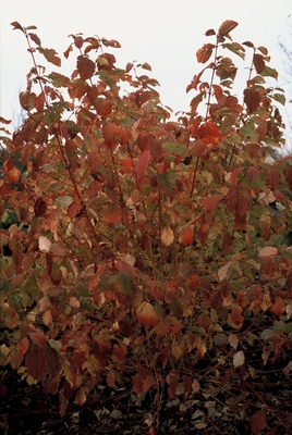 cornus_sanguinea_midwinter_fire.jpg