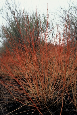 cornus_sanguinea_winter_beauty.jpg