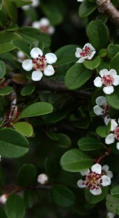 cotoneaster eichholz.jpg