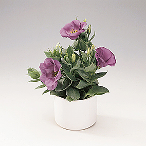 eustoma_grandiflorum.jpg