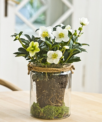 helleborus_in_pot.jpg