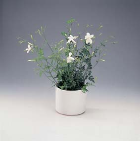 jasminum_officinale.jpg