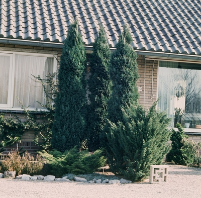 juniperus chinensis stricta.jpg