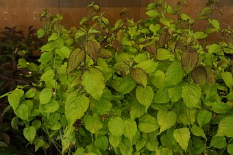 leycesteria_golden_lanterns.jpg