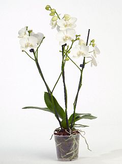phalaenopsis_ve_white.jpg