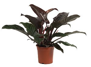 philodendron imperial red b.jpg
