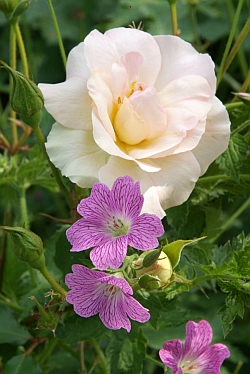 pph1_Rosa__Lady_of_the_Dawn___Geranium_o