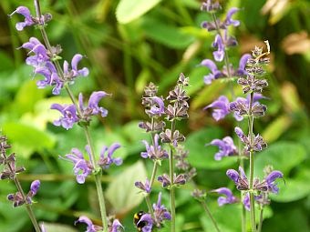 salvia_sylvestris_Rhapsody_in_Blue.jpg