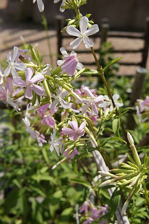 saponaria_officinalis.jpg