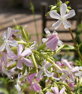 saponaria_officinalis_1.jpg