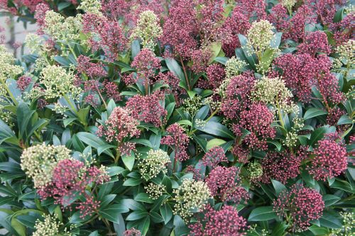 skimmia_japonica_magic_two_colours.jpg