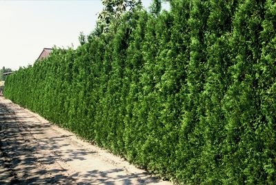 thuja_occidentalis_brabant.jpg