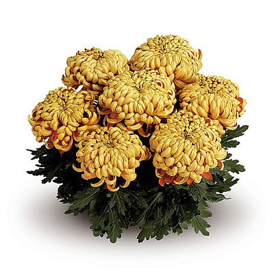 Chrysanth traditionals