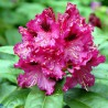 Foto: Rododendron 'Marie Fortier'