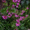 Foto: Rododendron 'Lilac Time'