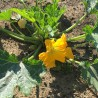 Foto: Courgette 'Black Beauty'