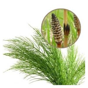 cola de caballo planta medicinal pdf