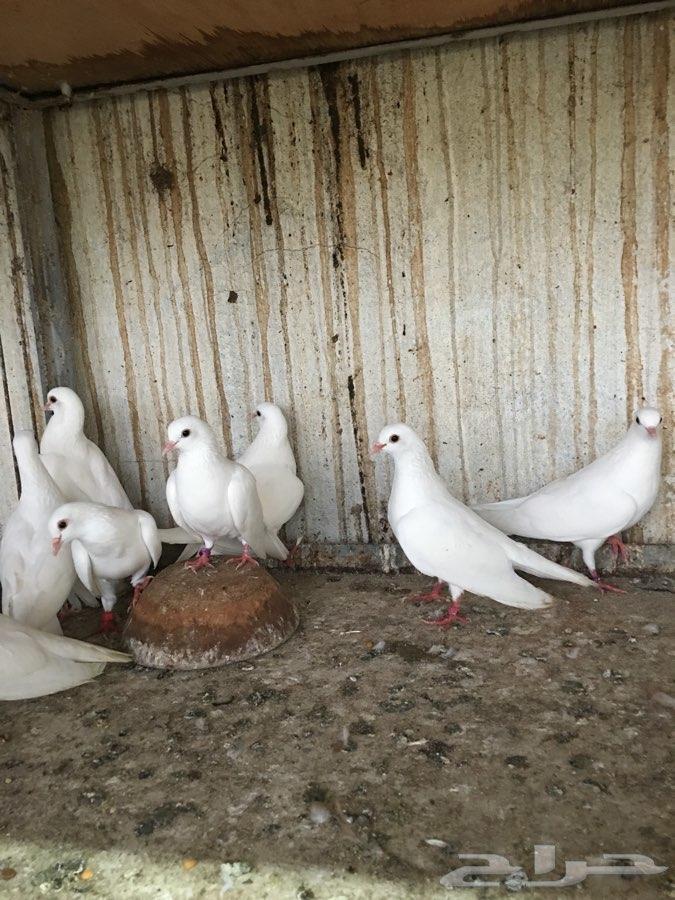 4 أجواز صنعاني أبيض صك