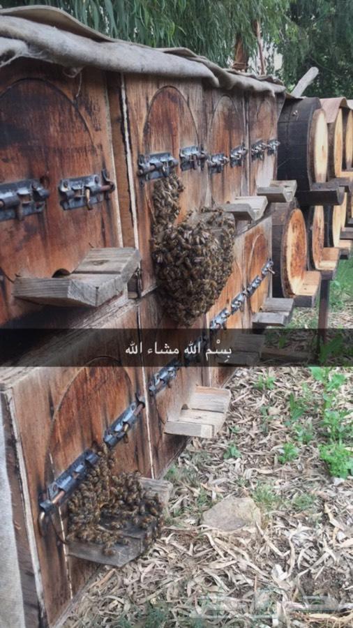 عسل سدر اصلي ومضمون 10  rlm