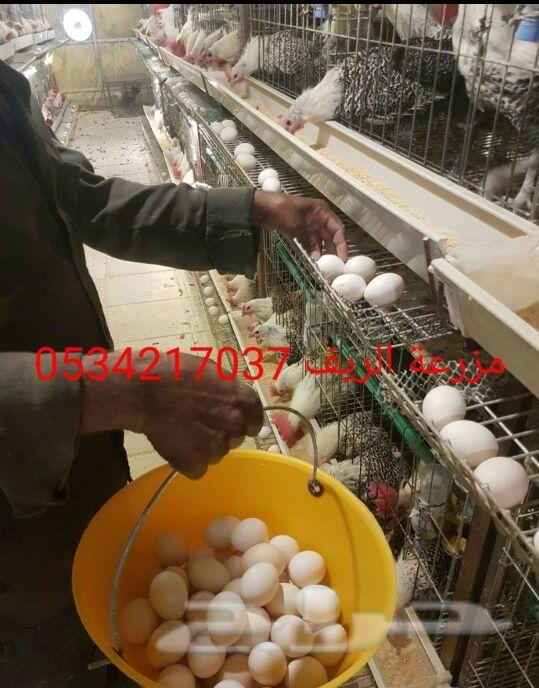 بيض الدجاج الفيومي المصري .