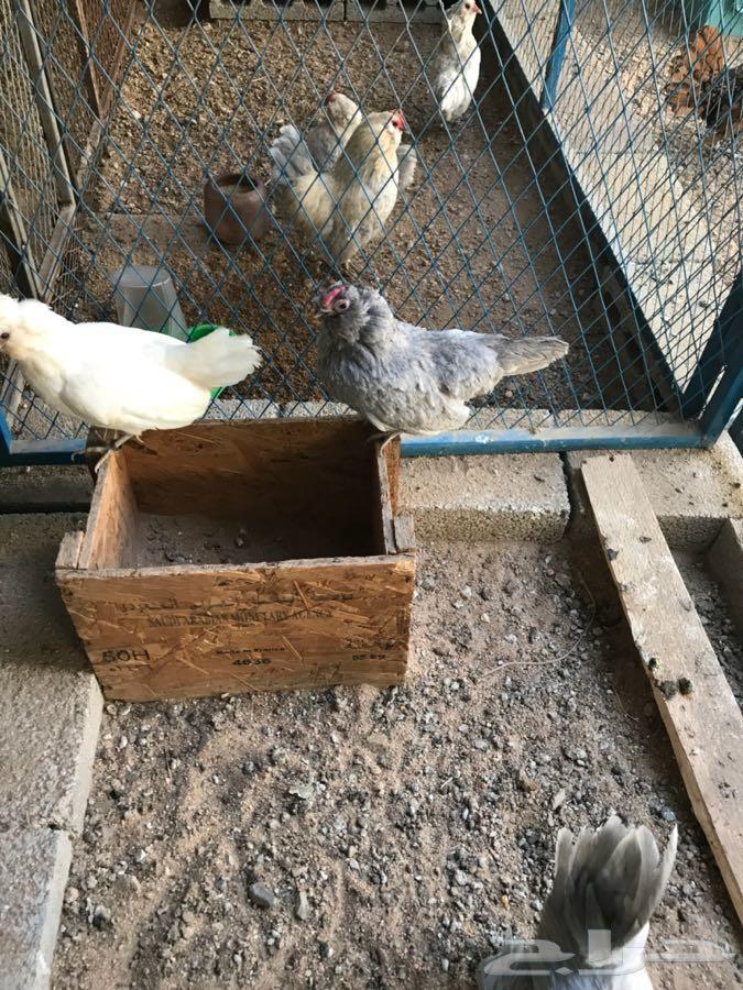 دجاج بوم خوارج و دجاج مفتل
