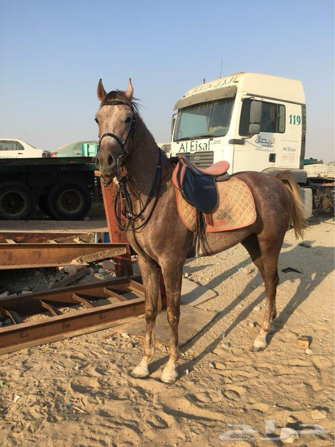 حصان عربي
