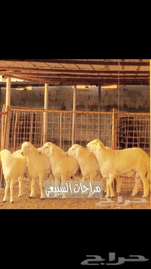 طليان ذبائح العيد