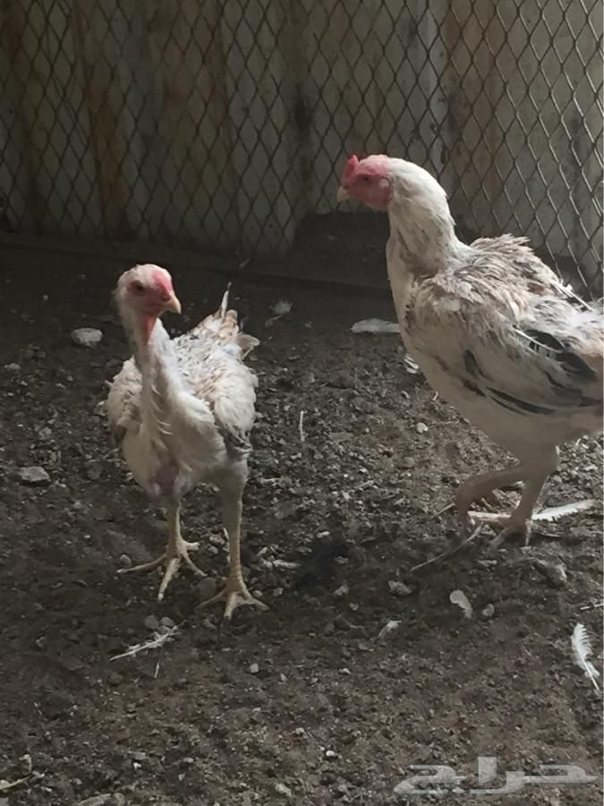 دجاج فارسي حر ودم صافي (اعلى مستوى)