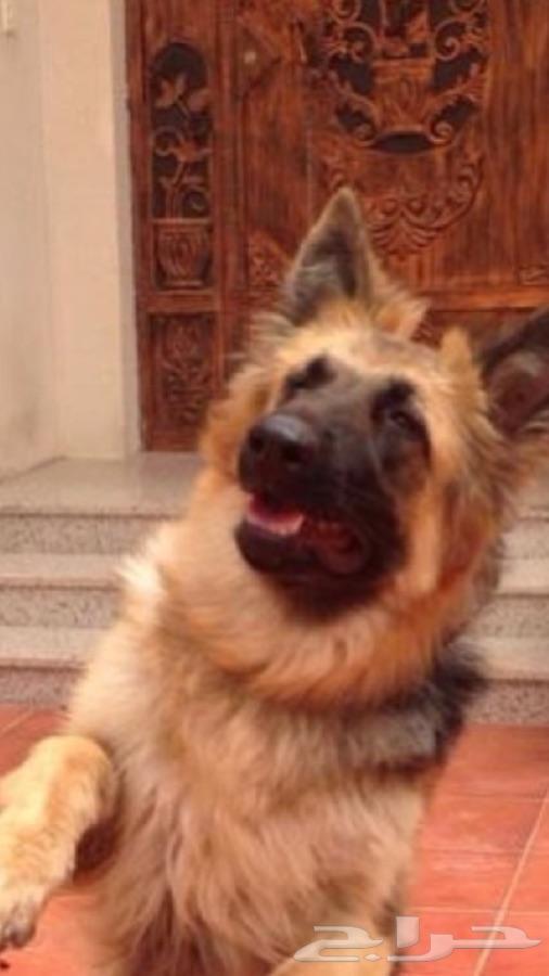 كلب جيرمن