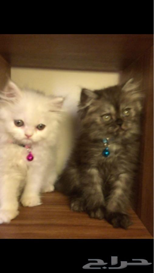 قطتين كتنز مون فيس شيرازي