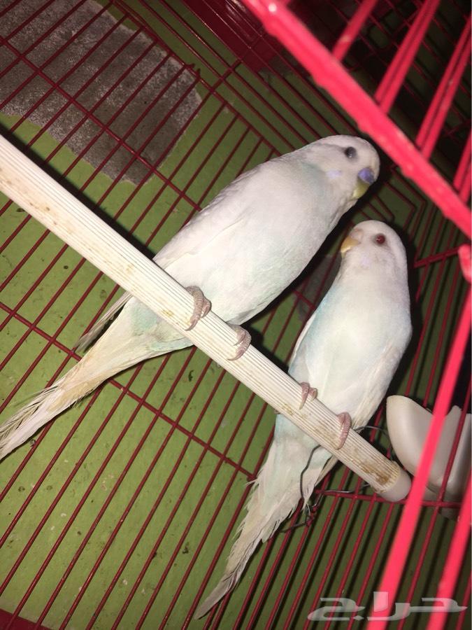 زوج بادجي طيور الحب البينوا