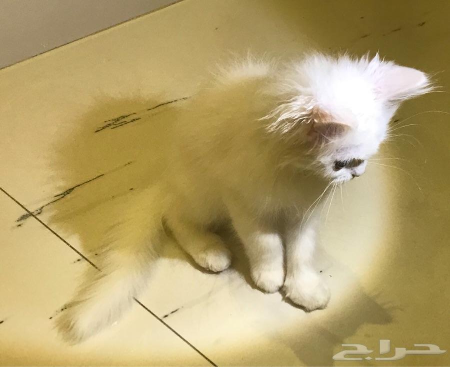 قطة انثى عمر ثلاث شهور للبيع