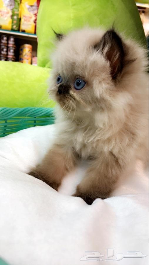 قطط للبيع