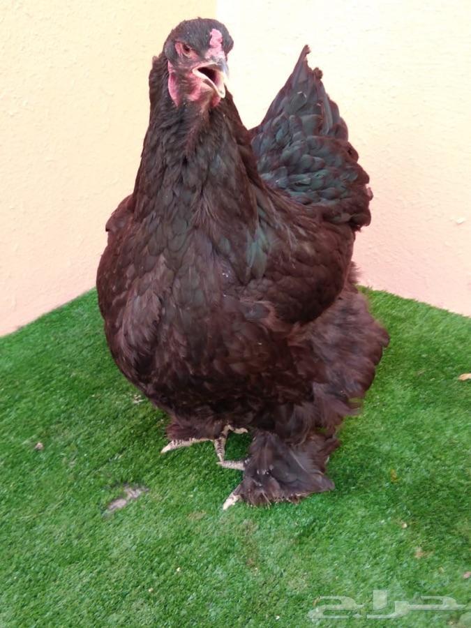 دجاج براهما اصلي