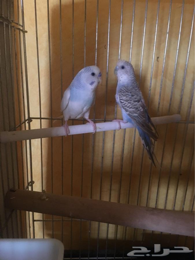 زوج بادجي طيور الحب