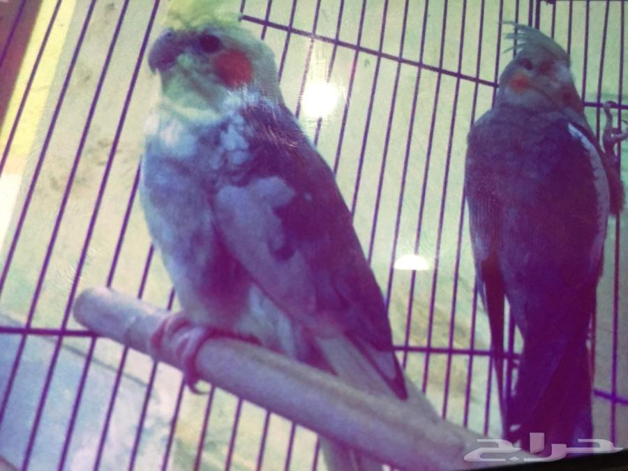 طيور الكروان للبيع