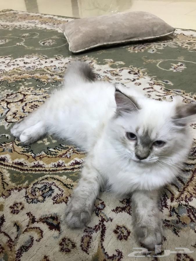 للبيع قطة هملايه