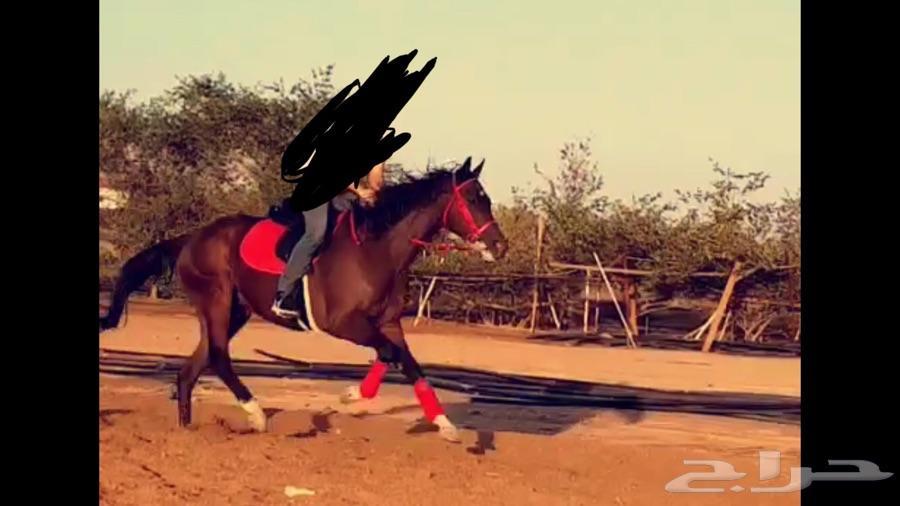 حصان انجليزي ب اوراق