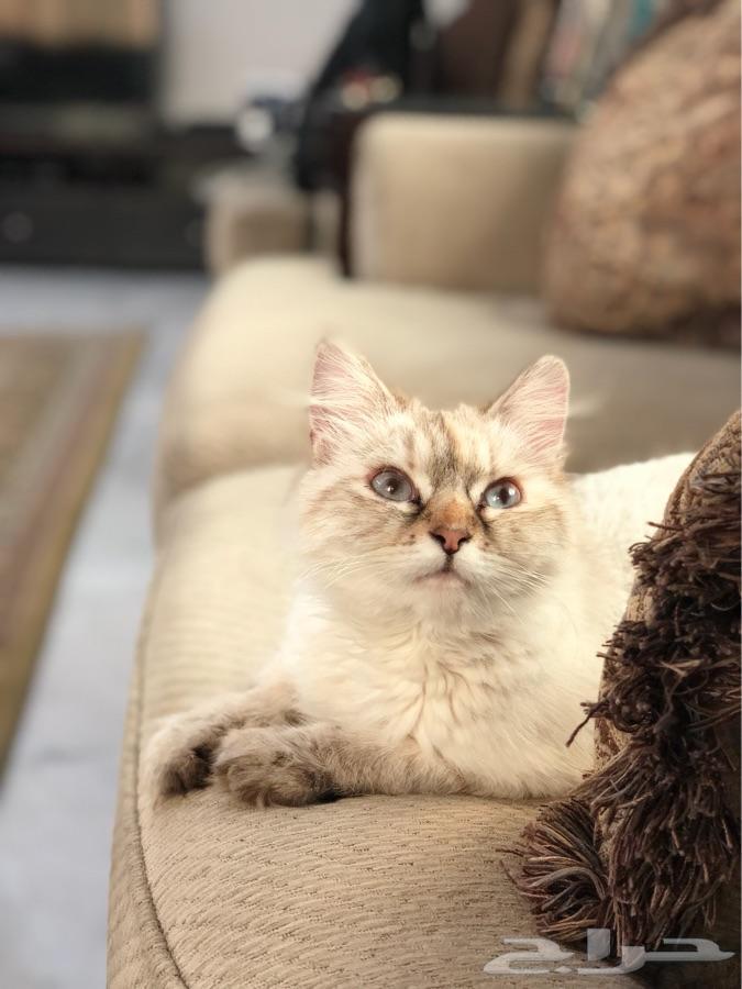 قطة هيمالايا للبيع العمر  حول السنة